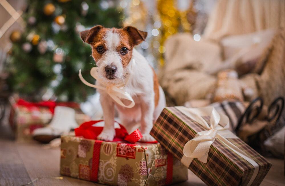Jõuluperiood sai alguse: veterinaarid manitsevad mustale statistikale viidates loomaomanikke hoolsamale käitumisele pühade ajal