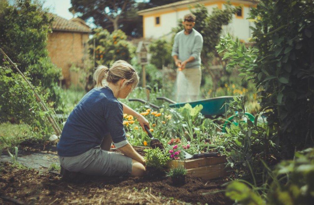 Uuring: täielikuks õnnetundeks tuleb teha täpselt nii mitu tundi aiatöid nädalas