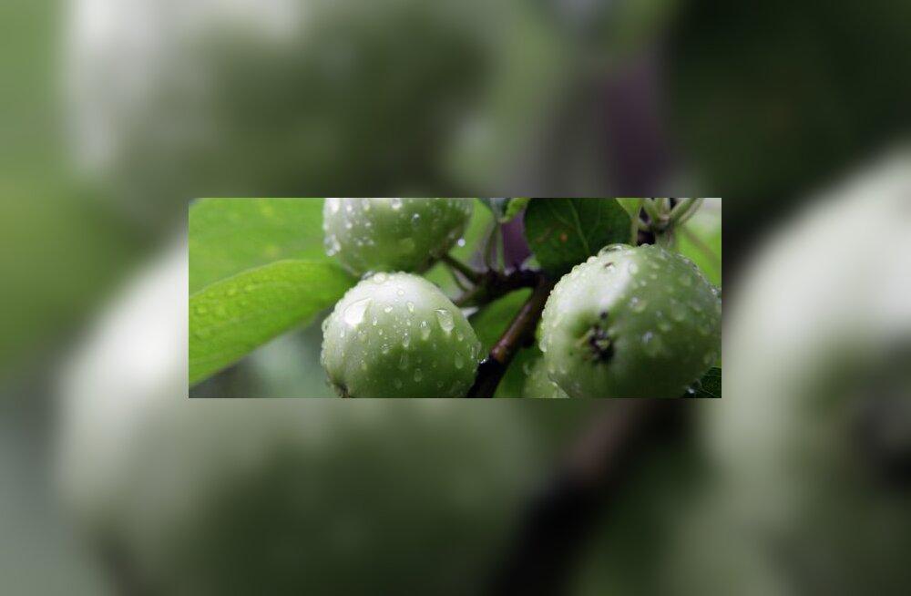 Teadlased: õun on seniarvatust kasulikum