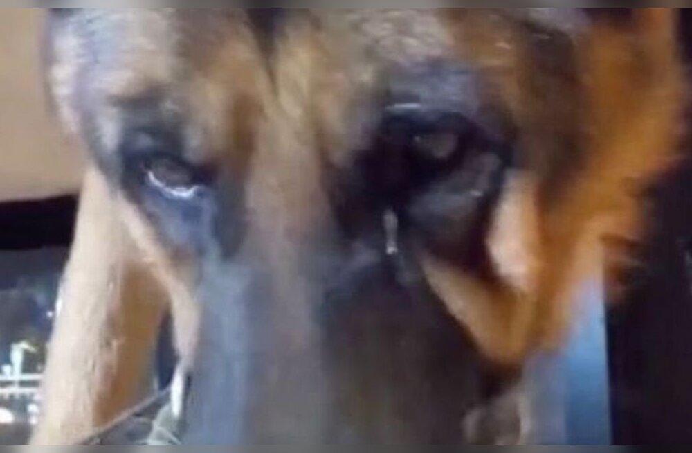 Julm ja rumal nali: hiinlased sunnivad sotsiaalmeediakuulsuse nimel koeri vürtse ja rämpstoitu sööma