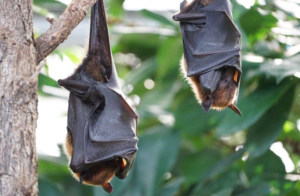 10 põnevat fakti: milliseid saladusi peidab endas nahkhiir?