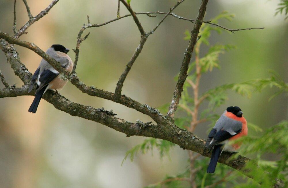 Linnud ja Peep Veedla 2008