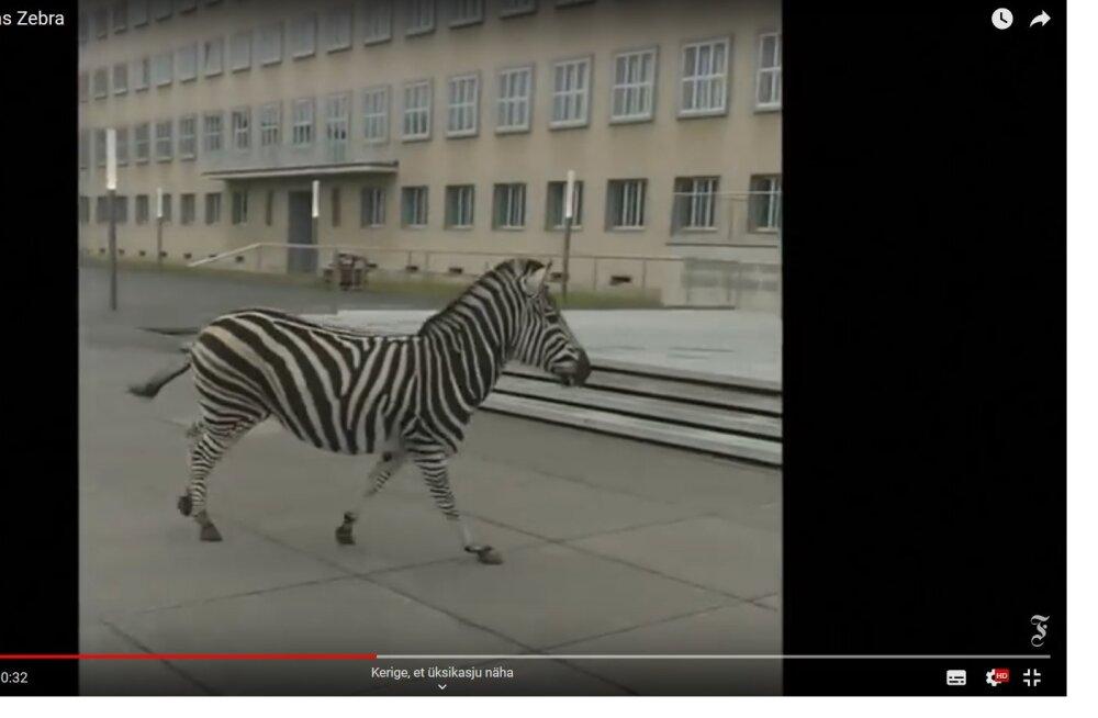 VIDEO   Saksa linnas kappas sebra tänaval