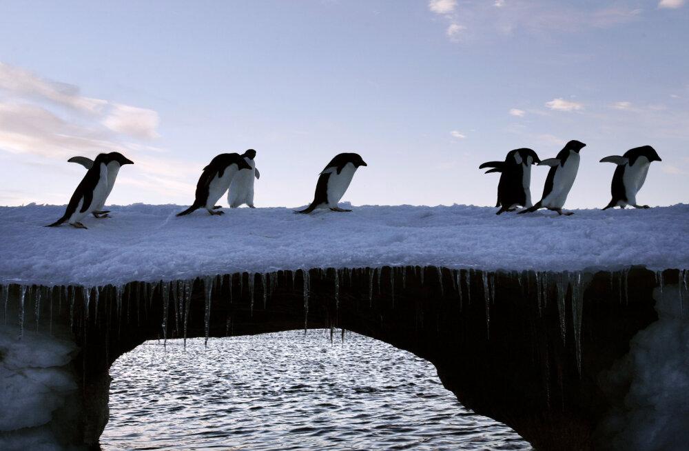 Karm näljasurm tuhandete hukkunutega: suures pingviinikoloonias elas talve üle vaid kaks tibu