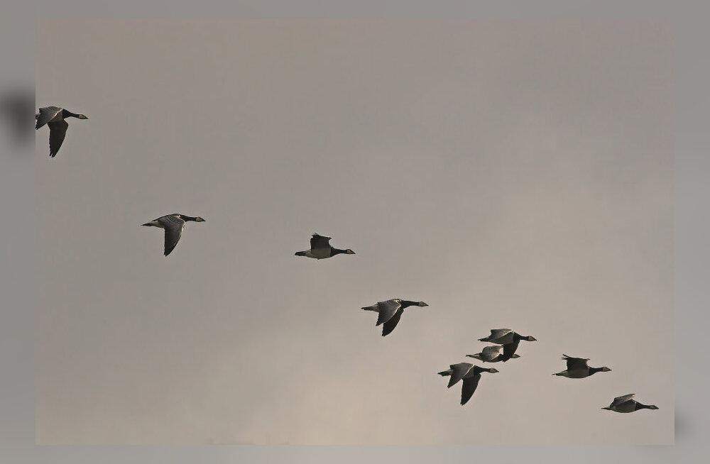 USA reisilennukid hakkavad taevast jälgima kiibistatud loomade liikumist
