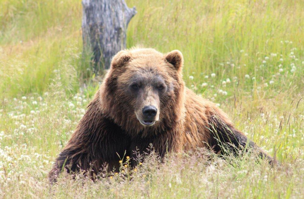 Tänavu tohib kõige rohkem karusid küttida Virumaal