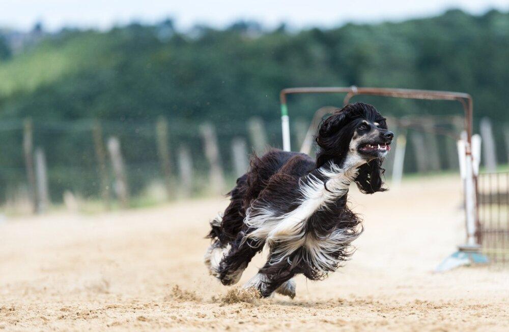 Kas tõesti võivad koerad olla kiireimad maismaaloomad?