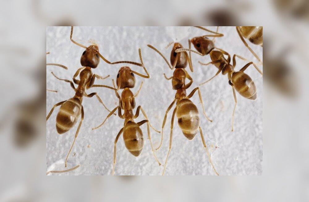 Lõhnamärgid kutsuvad sipelgaid koostööle