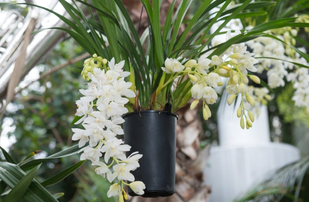 Orhideedel pole rippumise vastu midagi.