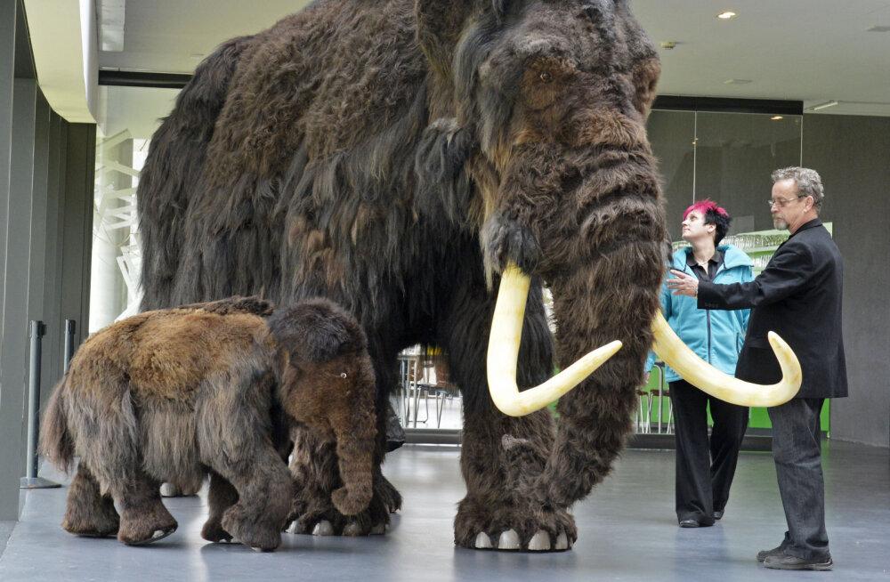Üks maailma viimaseid mammutikarju ei surnud mitte küttide käe läbi, vaid janusse