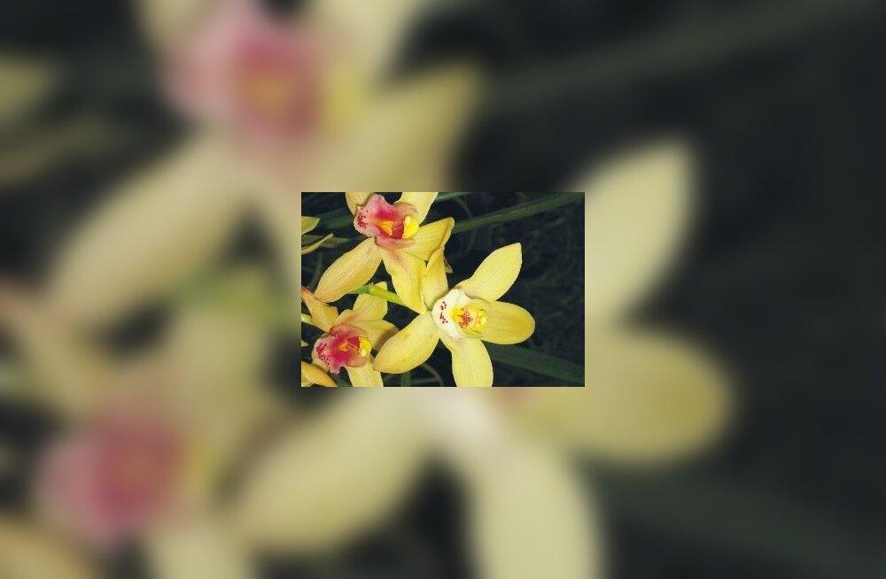orhidee25