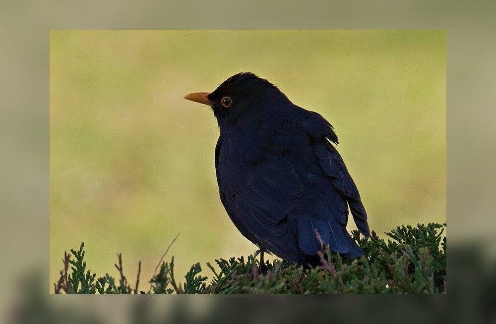 Kas linnult võib puukborrelioosi saada? Linnud levitavad seda agaralt