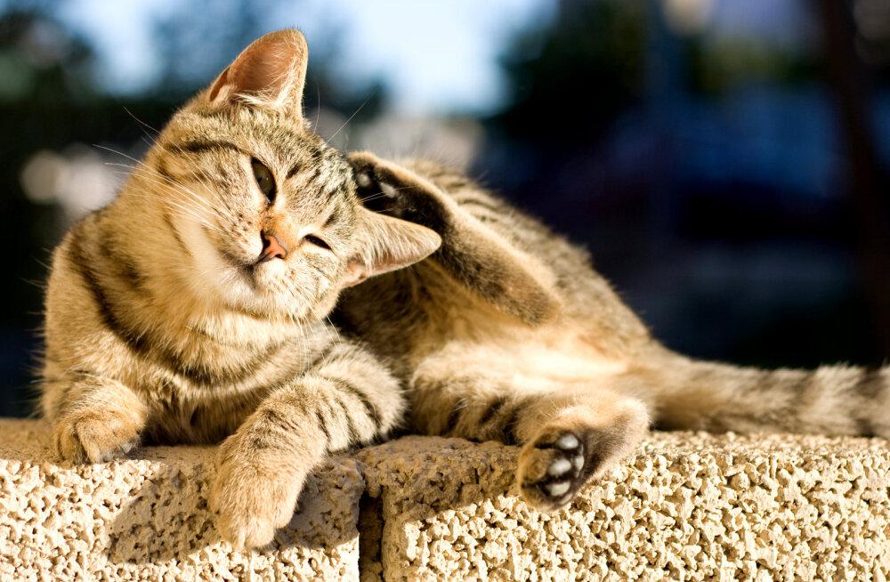 Appi, minu kass kratsib end liiga palju! Kas peaks muretsema?