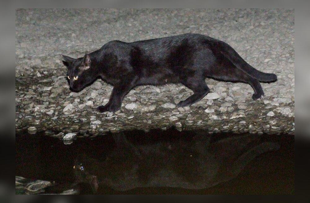 Kabuli must kass