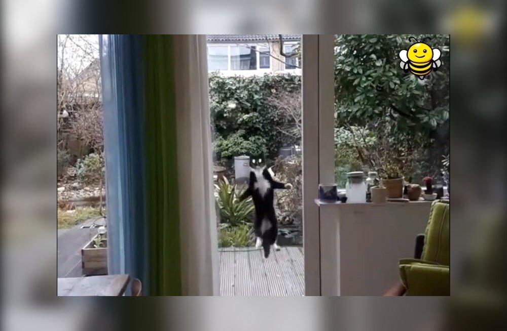 VIDEO | Nagu must tont akna taga! Kass, kel on tuppa küsimiseks ennenägematu viis