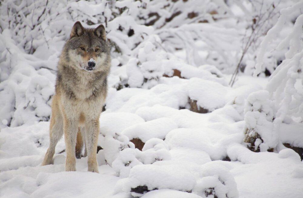 Eesti loomakaitsjad astuvad Norra huntide kaitseks välja