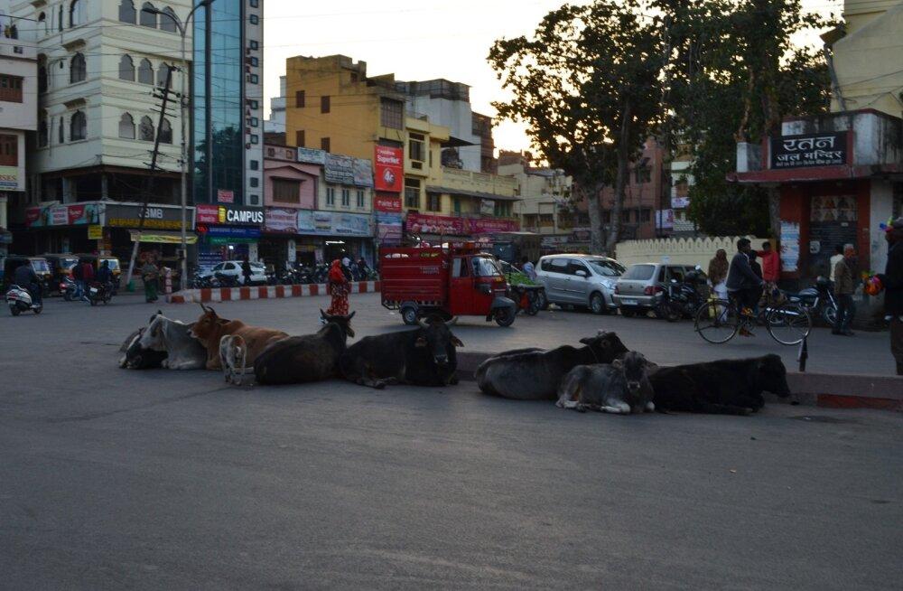 Kõige romantilisemas linnas liikluse keskel end segada laskmata sõrgasid puhkav lehmagrupp.