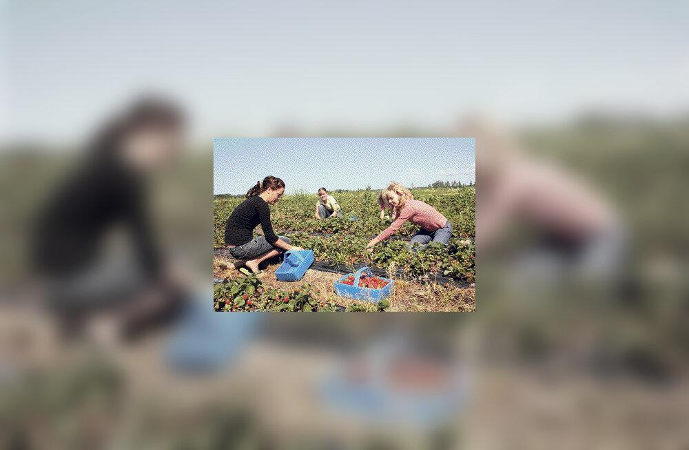 Eestimaiste maasikate asemel täidavad suud välismaised marjad