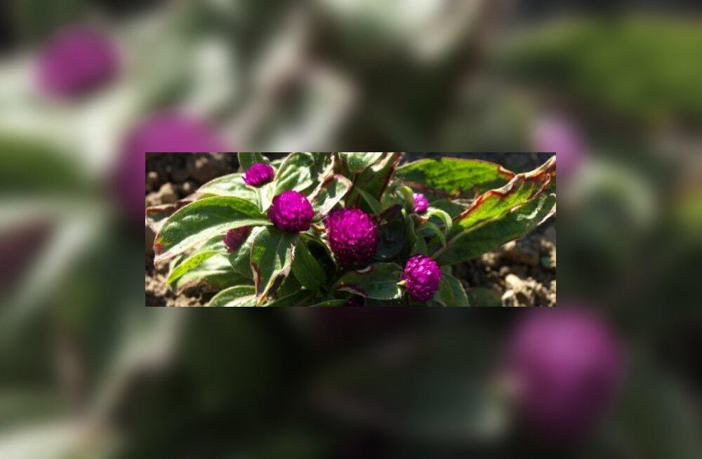 Ümar kerarebashein – hinnatud taim kuivlilleseades