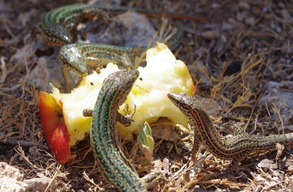 Matkasaar Ibiza: rännakud sisalike ning metsiku looduse seltsis