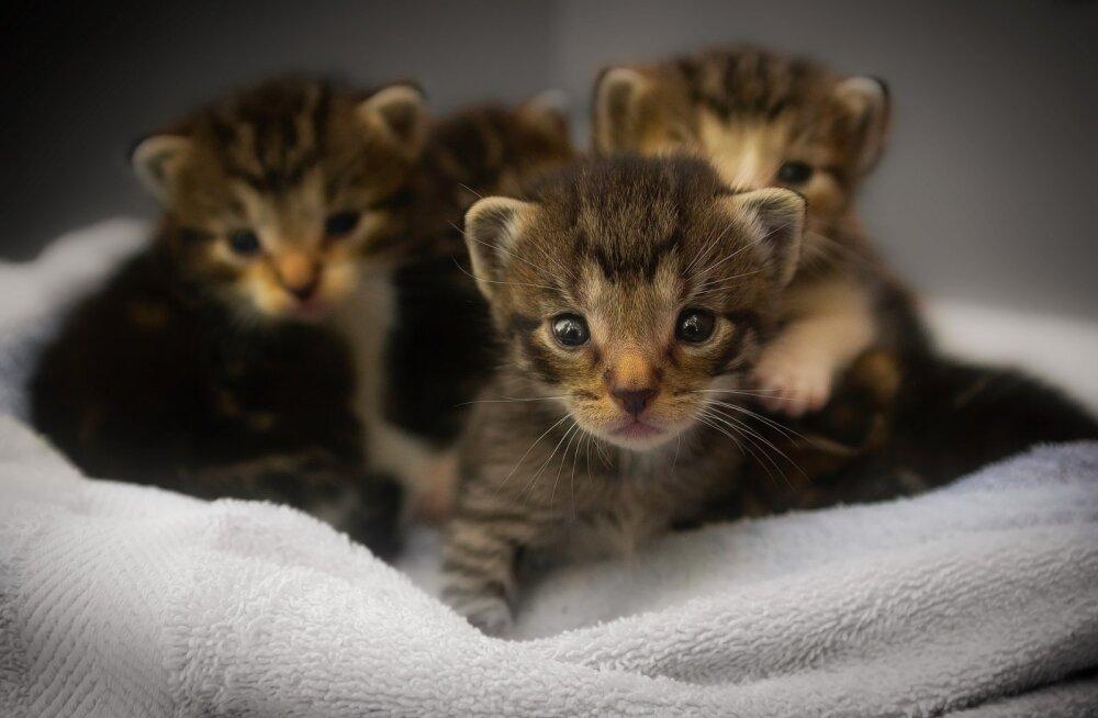 Lasnamäe kortermaja prügikastist leiti vaid paari nädala vanused kassipojad