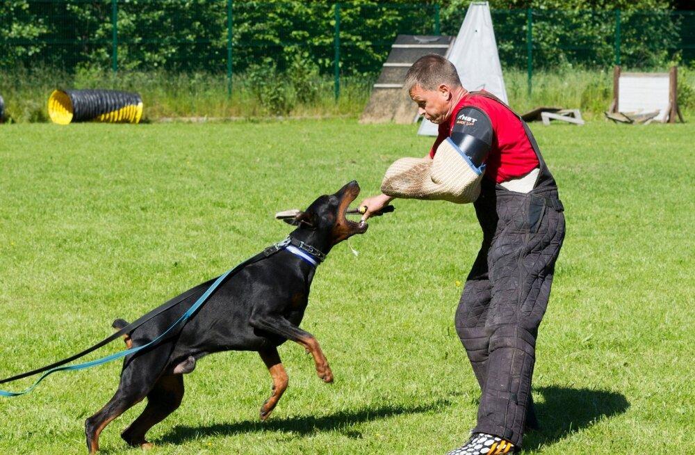 Ilus ja hirmutav dobermann - mida peaks selle koera kasvatamisest kindlasti teadma?