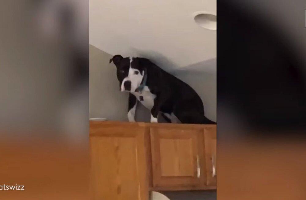 LÕBUS VIDEO | Ilmselt kasside seltskonnas kasvanud koer peab end kassiks