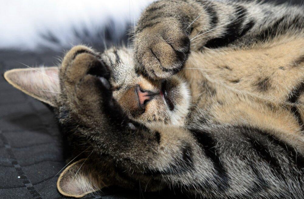 Huvitav komme: miks kassid magades oma näo sageli kinni katavad?