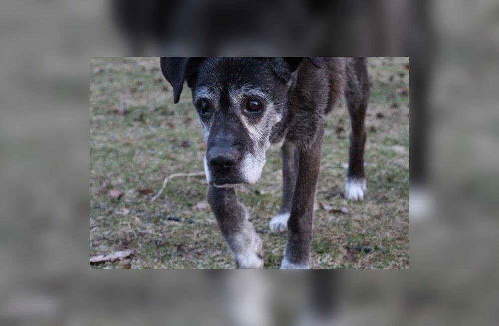 TULE APPI | Kadunud on eakas ja pime koer, leidjat ootab vaevatasu
