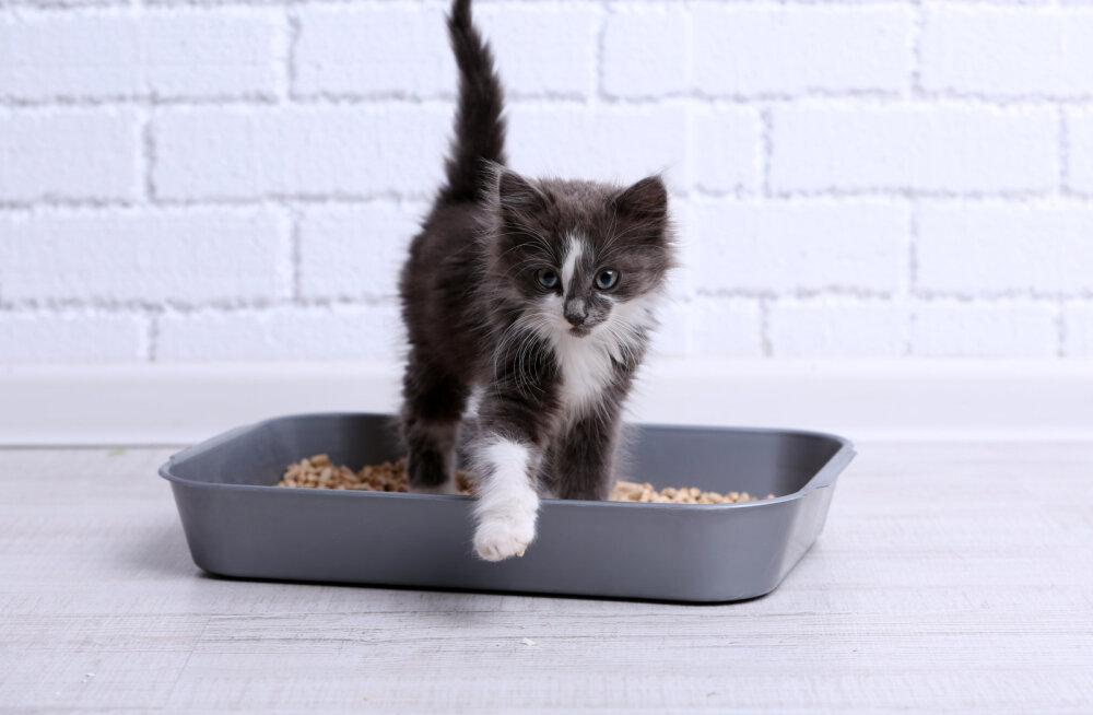 Mida teha, kui kass ei kraabi väljaheitele liiva peale?
