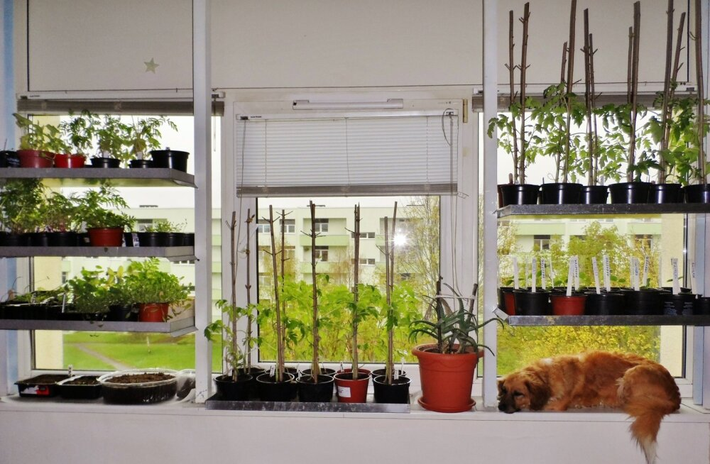Eriti raskes sõltuvuses potipõllumehed kasvatavad taimi lausa mitmes kihis.