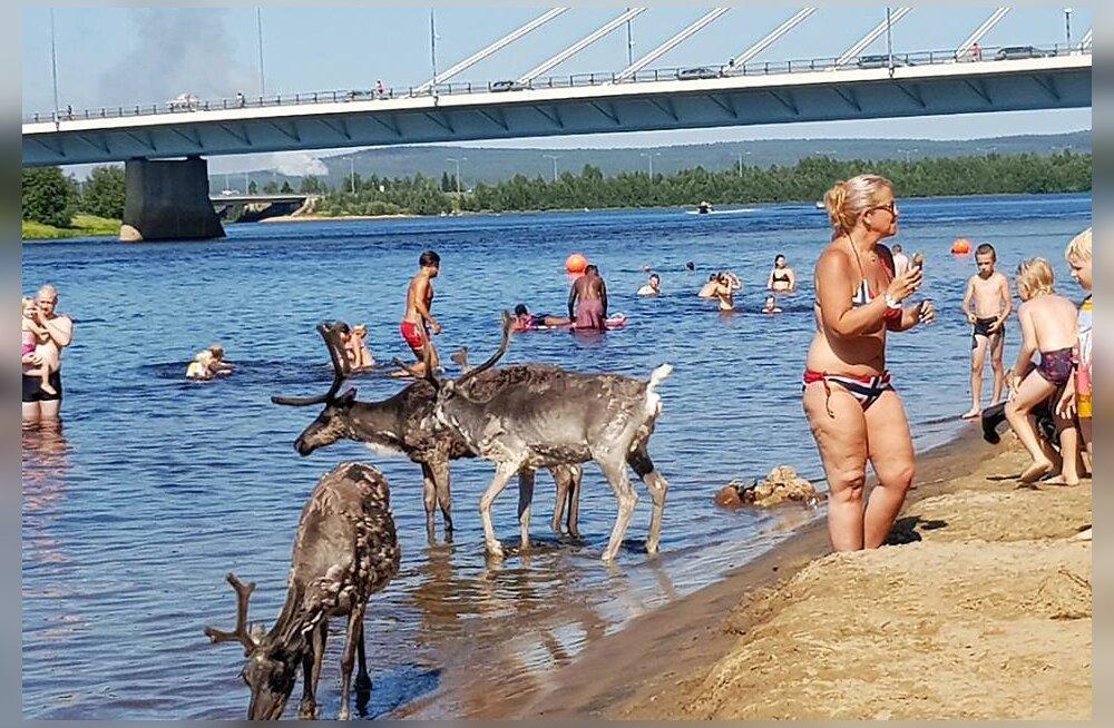 FOTO | Kõigil on palav: Soomes Lapimaal suplevad inimesed koos põhjapõtradega