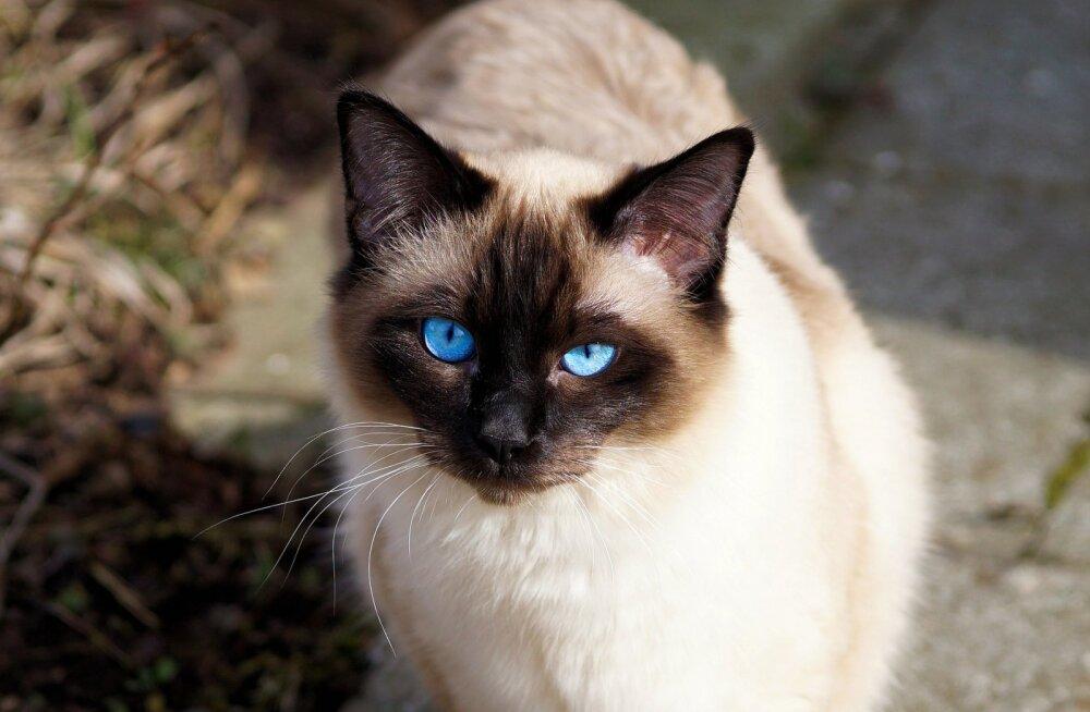 ÜRITUS | Nädalavahetusel toimub lauluväljakul rahvusvaheline kassinäitus, kohal on ka koduotsivad lemmikud