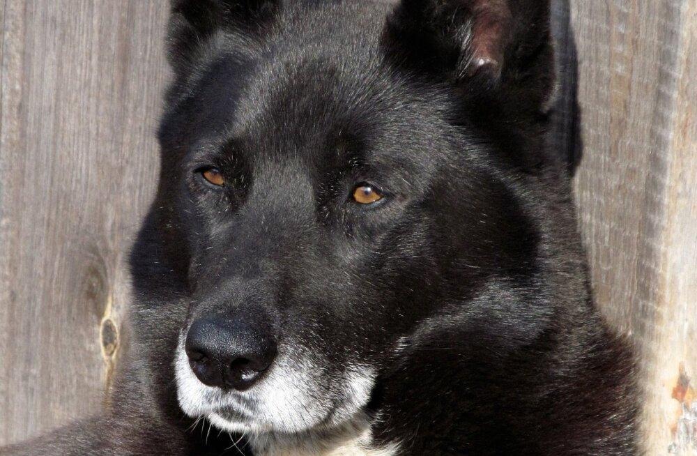 Harjumaal terroriseerivad agressiivsed koerad kohalikke külaelanikke