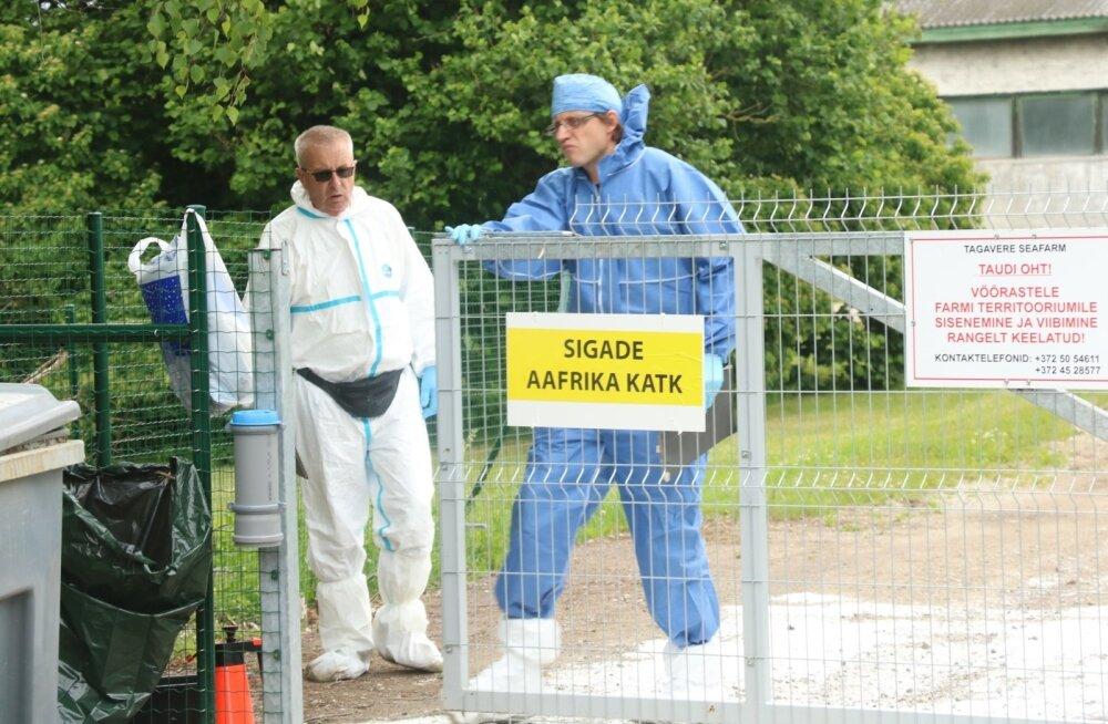 Orissaare seafarmis sigade katk, Saaremaa