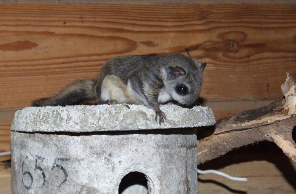 Loomakaitsjad: kui koheselt mitte tegutseda, siis viie aasta pärast lendoravat Eesti metsades enam ei ole!