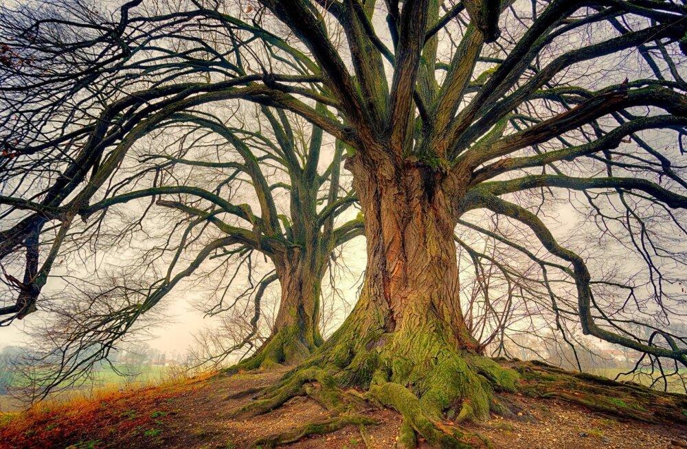 Vanad puud