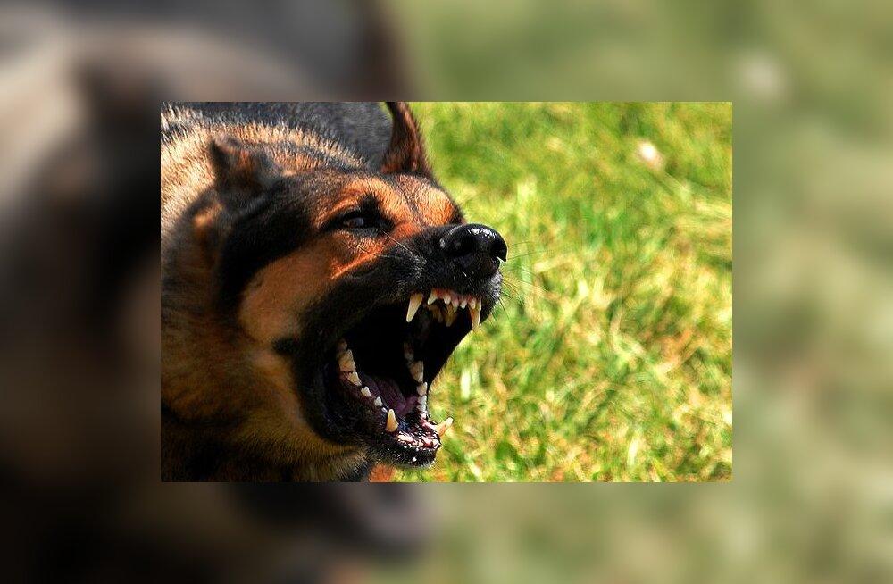 Kas uskumusel, et koer ründab teda paaniliselt kartvat inimest on tõepõhi all?
