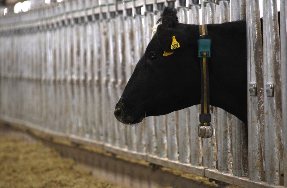 Eksootilisest riigist investeeritakse Leedu juustutööstusse
