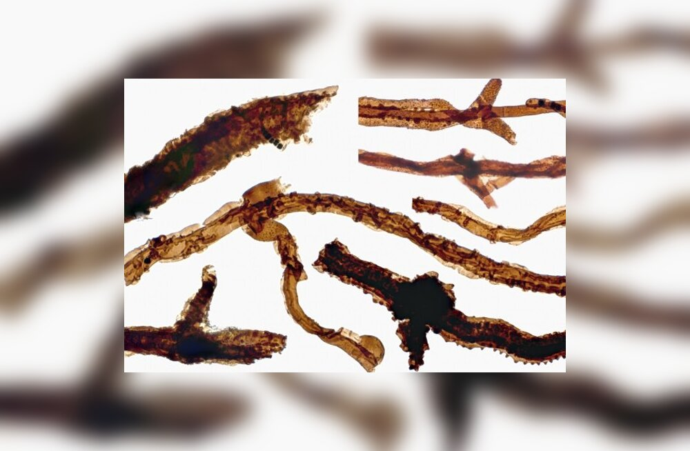Saage tuttavaks: see on vanim teadaolev maismaa-eluvorm