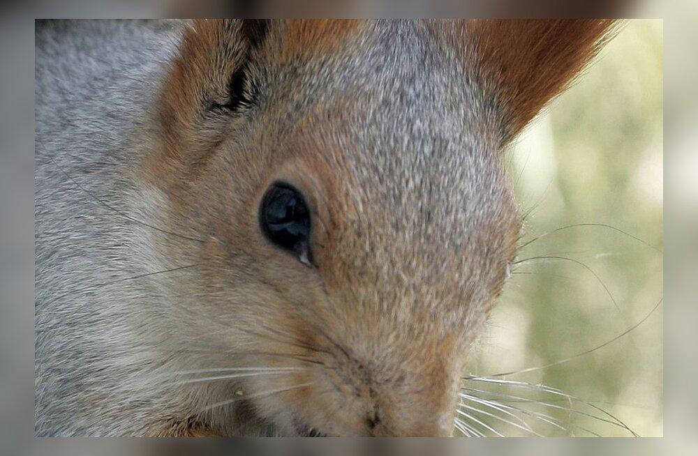 Päeva kommentaar: Käbide ja pähklisõda oravale, kes ütleb, et kuningas on alasti