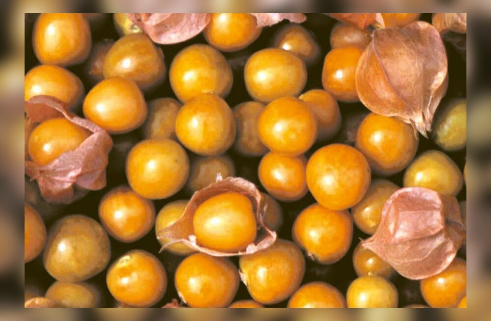 Kuldsed marjad toiduks ja ravimiks
