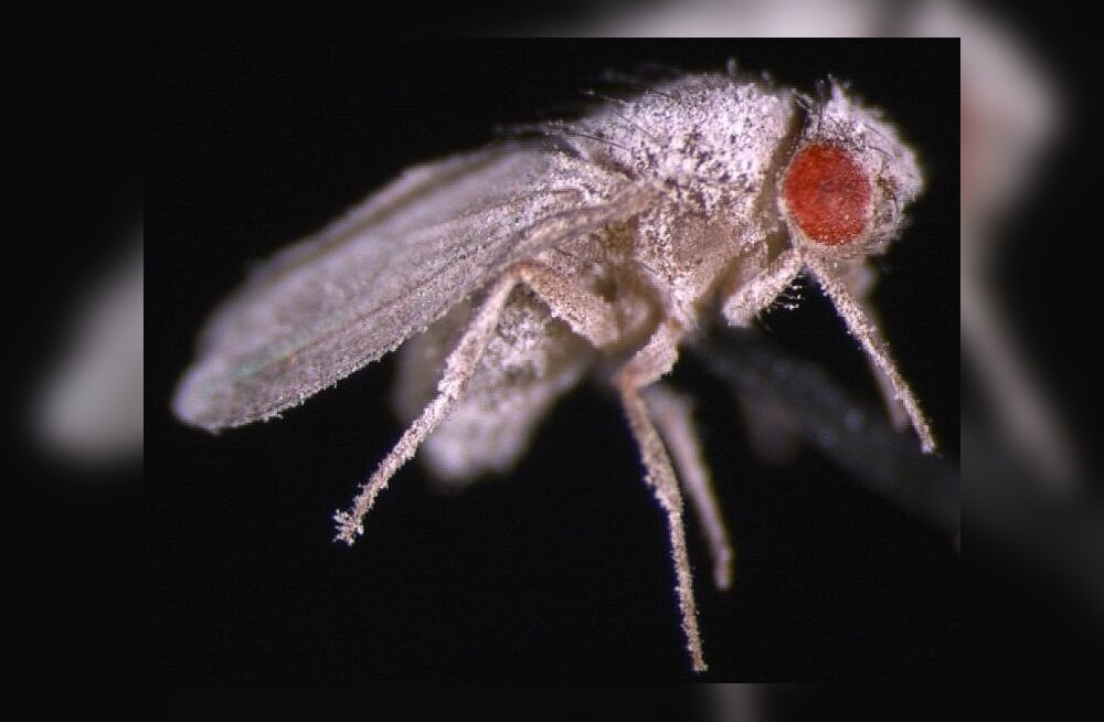 Kosmoses koorunud äädikakärbsed nakatuvad kergesti seenhaigustesse. Foto: D. Kimbrell/UC Davis