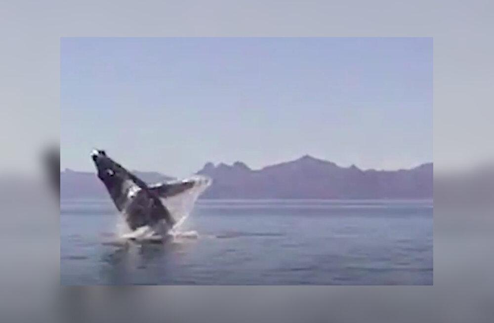 VIDEO | Vaata, millise imelise tänuavalduse osaliseks sai vaala kalavõrgust päästnud perekond!