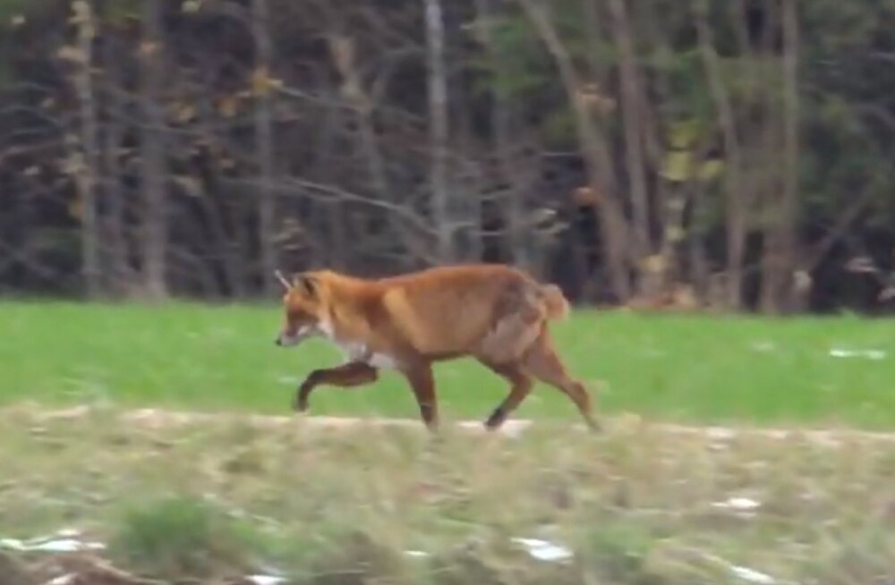 VIDEO   Viljandimaa koduhoovis jalutas ringi sabata rebane