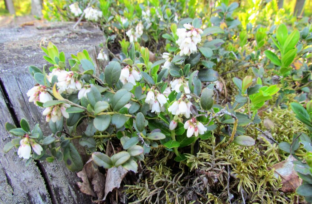 Leili metsalood | Pohlaõied lubavad head saaki