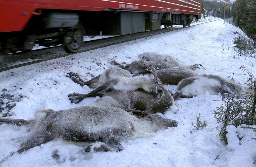 Mis toimub? Norras hukkus kaubarongide teel kolme päevaga üle saja põhjapõdra