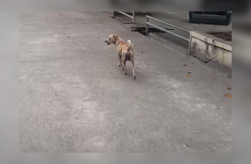 VIDEO   Hoolikalt varjatud saladus: hulkuv koer säilitas õhtusöögi hoopis kellegi teise jaoks