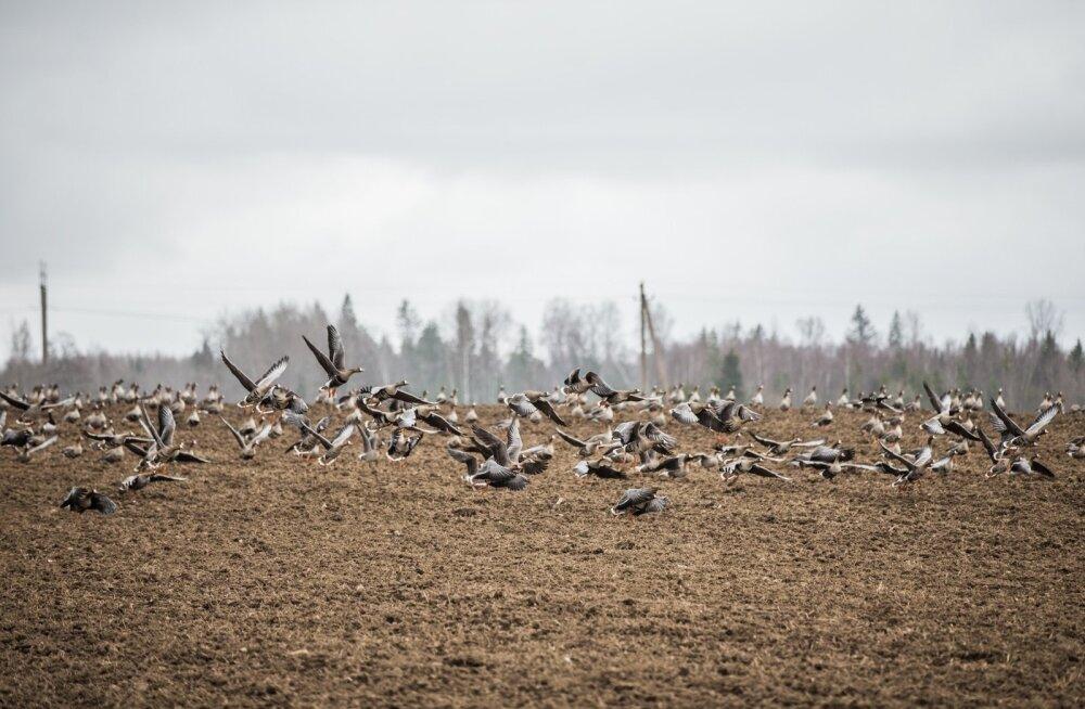 Põllumees, anna Keskkonnaametile linnukahjudest kindlasti teada!