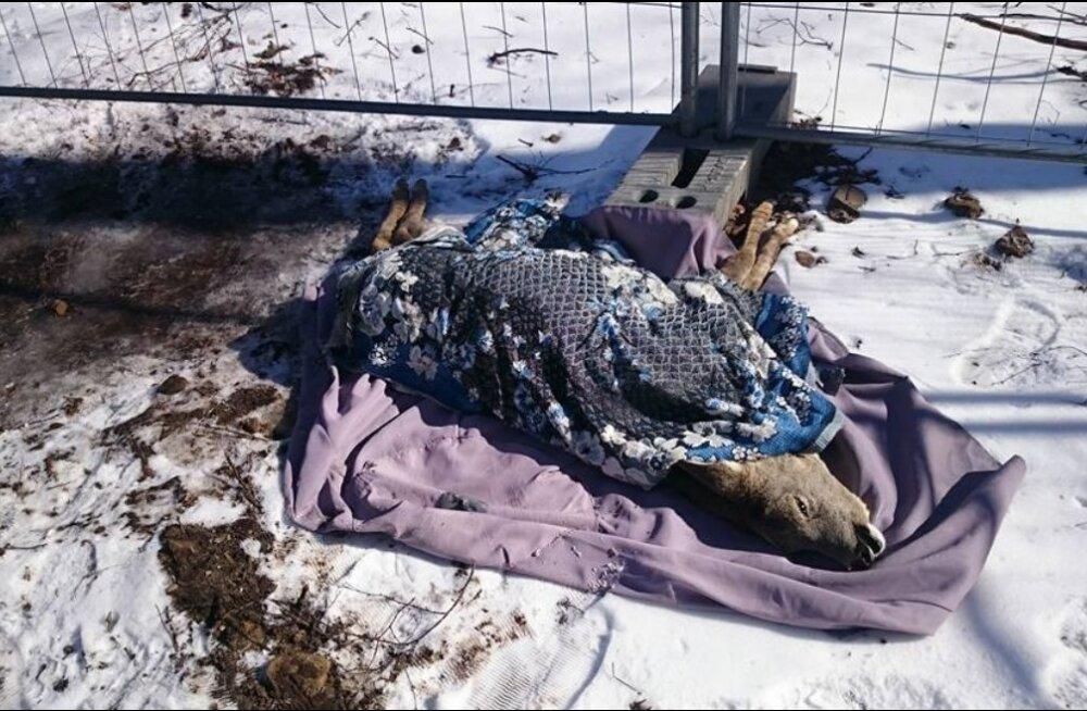 Tiine metskits suri vastutustundetu koeraomaniku tõttu
